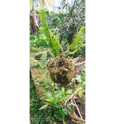 Kokedama fougère et mousse vivante